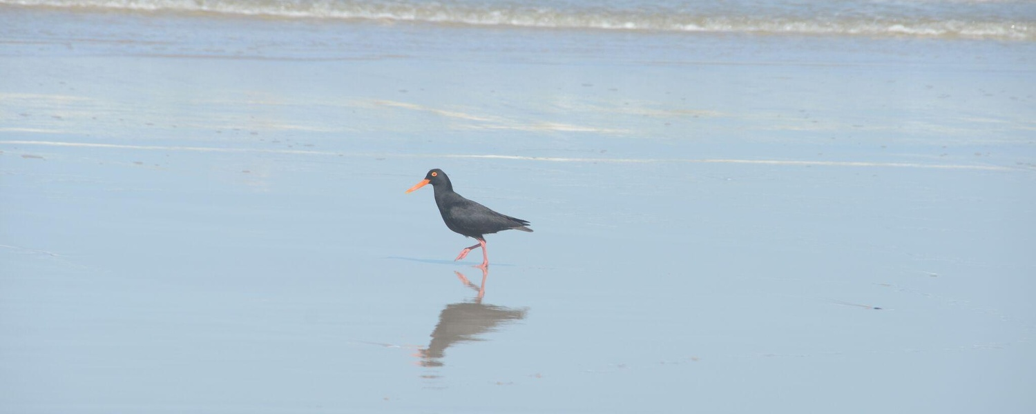 Numerous breeding pairs of the scarce endangered black Oyster Catcher (Swart Tobie) are indigenous to this beach